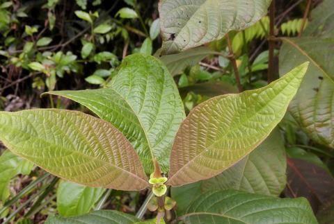 水锦树嫩枝叶柄处有一对互生的耳状托叶,有地方也叫它双耳蛇