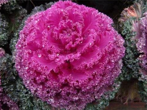 花卉植物羽衣甘蓝什么时候栽培好?