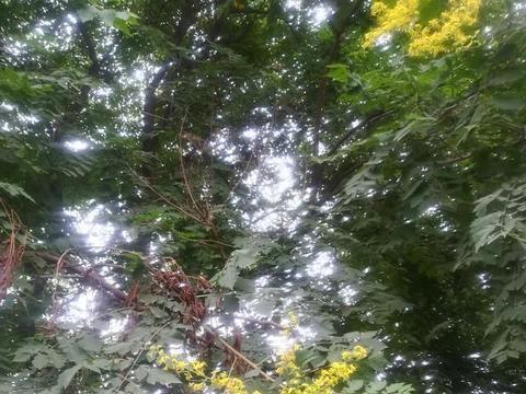 郊外的家:路上花事之栾树
