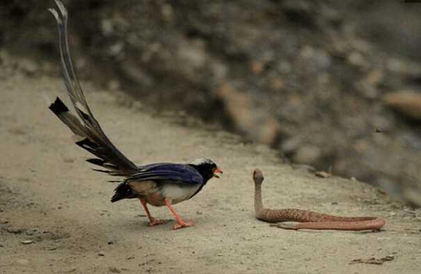 响尾蛇将幼鸟杀害, 母鸟追着毒蛇跑 你毒蛇的尊严呐?