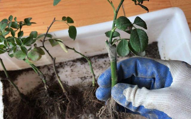 月季扦插苗、嫁接苗有什么区别?这样养,后期花量能翻倍