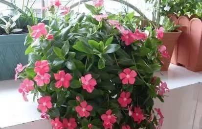2019年最流行的花,比绿萝好养,吊起来就能活,开花多不占地