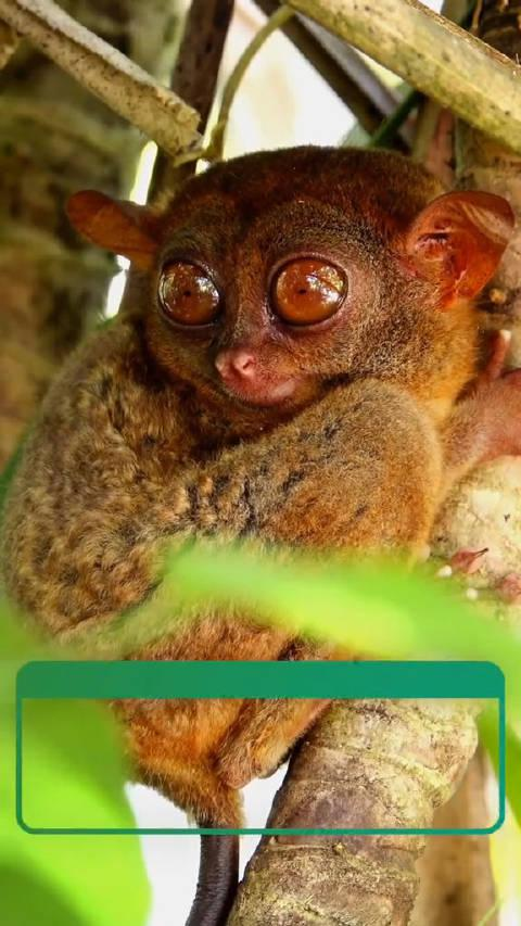 菲律宾眼镜猴
