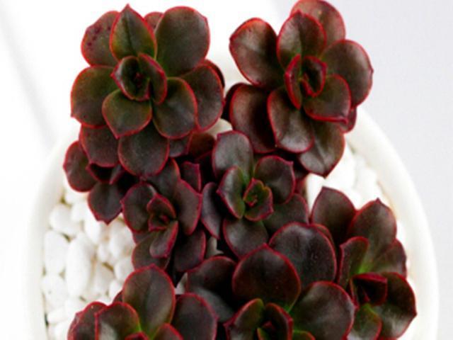 多肉巧克力方砖茎杆发黑怎么办?砍头重新爆侧芽,可以长成手捧花