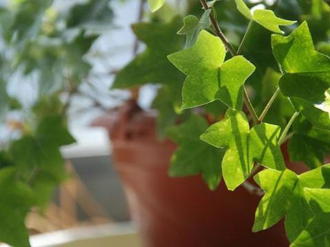 不同品种常春藤的生长环境