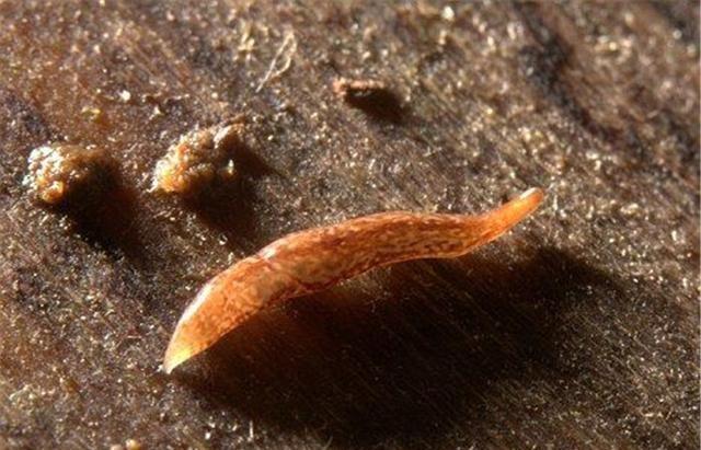 以石头为食的虫子,分泌有腐蚀性的黏液,科学家:是一大威胁!