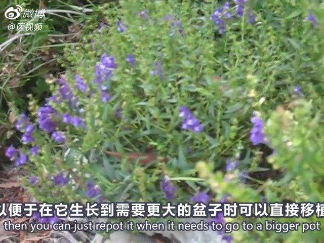 中医药科普:黄芩的生长及功能主治 视频翻译by
