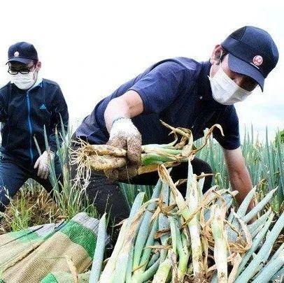 受疫情影响,成田机场员工已经开始帮当地农户收菜了…