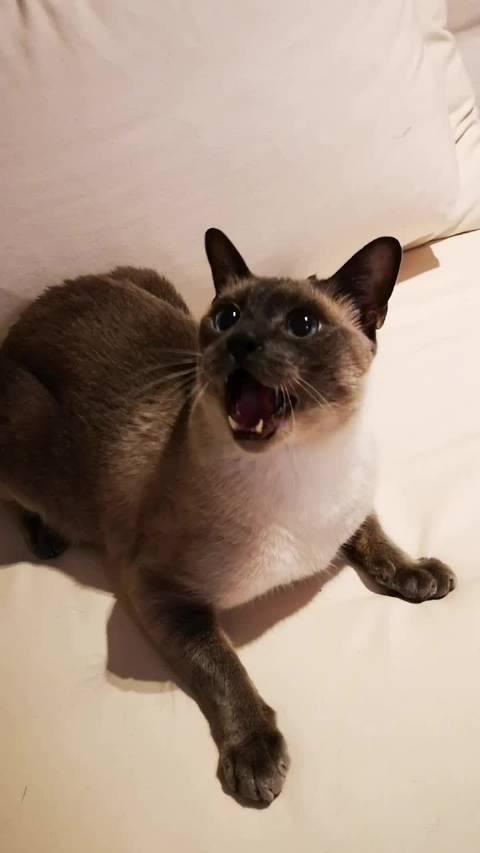 给卡夫卡和汀买了新逗猫棒!