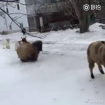 笑Cry!羊群打滑大型车祸现场