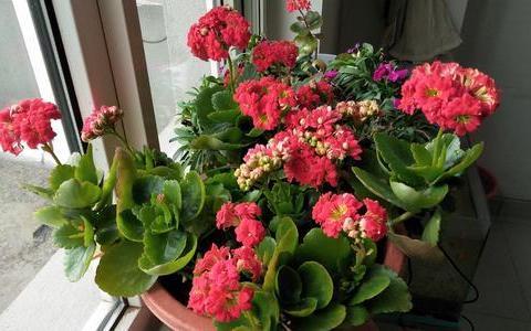 夏天养长寿花,做好3少1多,安全度夏,秋凉早开花
