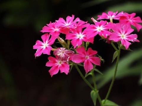 此花被称为福乐花,花开似小绣球,给人一种美不胜收的感觉!