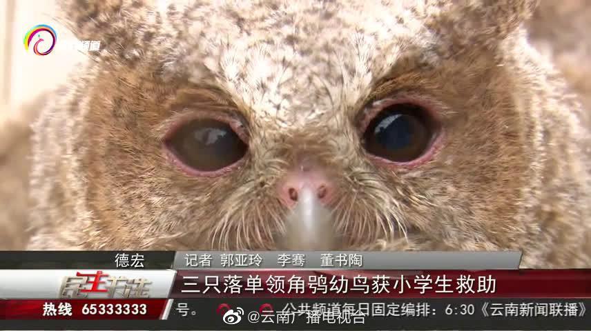 高萌预警!3名小学生救助3只领角鸮幼鸟 摇头晃脑的模样太可爱啦