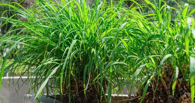 外国没有花露水,驱蚊依靠这些天然绿植,药材香型真是千奇百怪