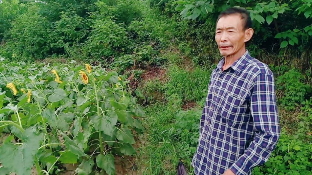 农民怎样评价农村?一夜暴雨农作物倒伏,湖北黄冈农民大胆讲真话