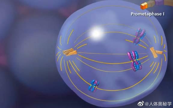 细胞周期和有丝分裂 有丝分裂的特点是有纺锤体染色体出现……