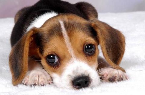 狗狗眼睛眼屎多睁不开眼睛