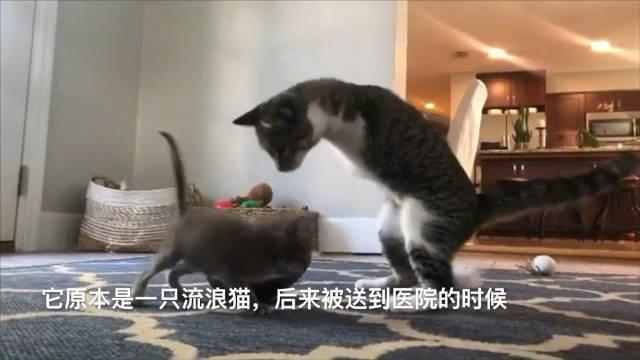 猫中霸王龙,说的就是这只叫Duck的狸花猫啦,瞧瞧人家……