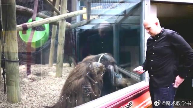 男子给猩猩表演魔术,扑克直接穿透了玻璃,大猩猩反应让人意外