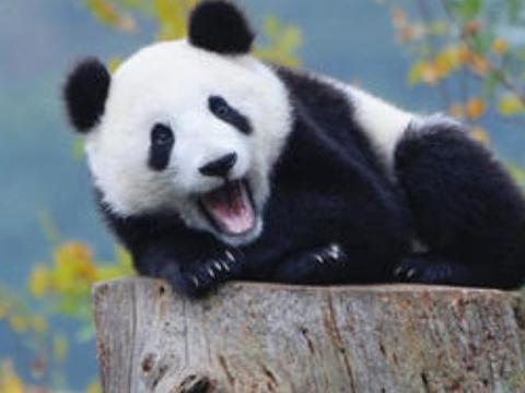 全世界唯一的一只棕色大熊猫,众网友表示,还真是万黑丛中一点棕