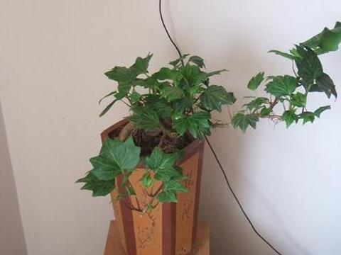 想要解决超标甲醛、乙醚?花几元钱买盆常春藤,1个月就长爆盆