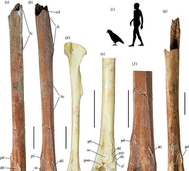 濒临灭绝的大傻鸟鸮鹦鹉,曾经有个身高1米的远古亲戚