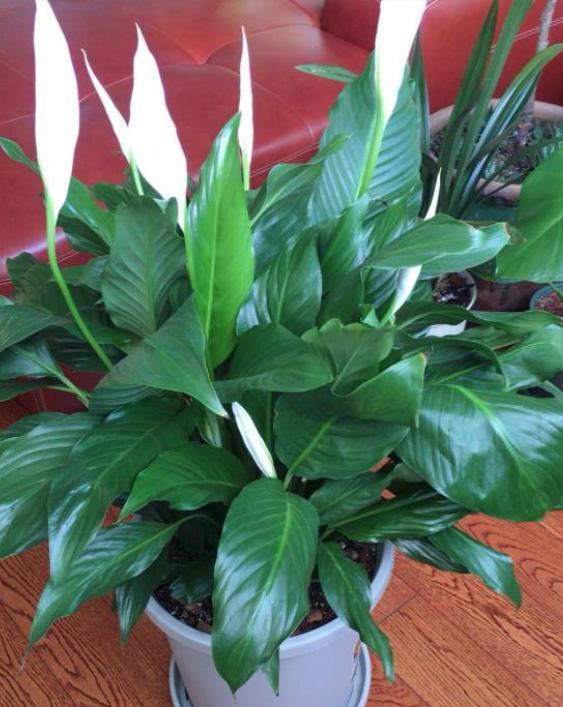 家中养白掌,四季只需2种肥,叶片蹭蹭长,花期必爆盆