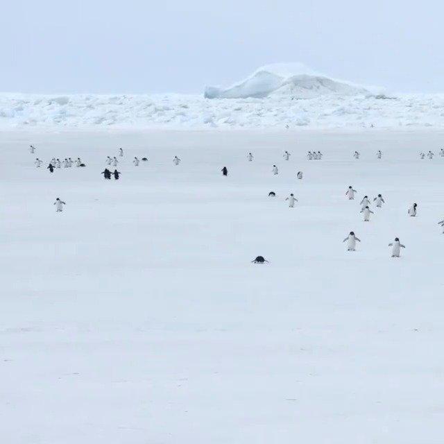 5倍速下的企鹅海冰上行走,哈哈哈哈全都像是发条玩具机器人
