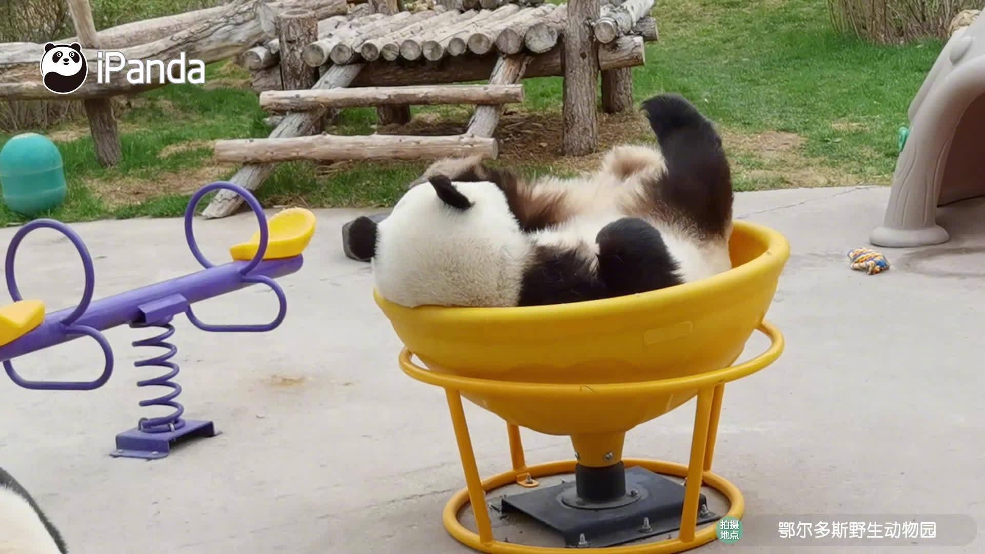 大熊猫直播带货有多拼?