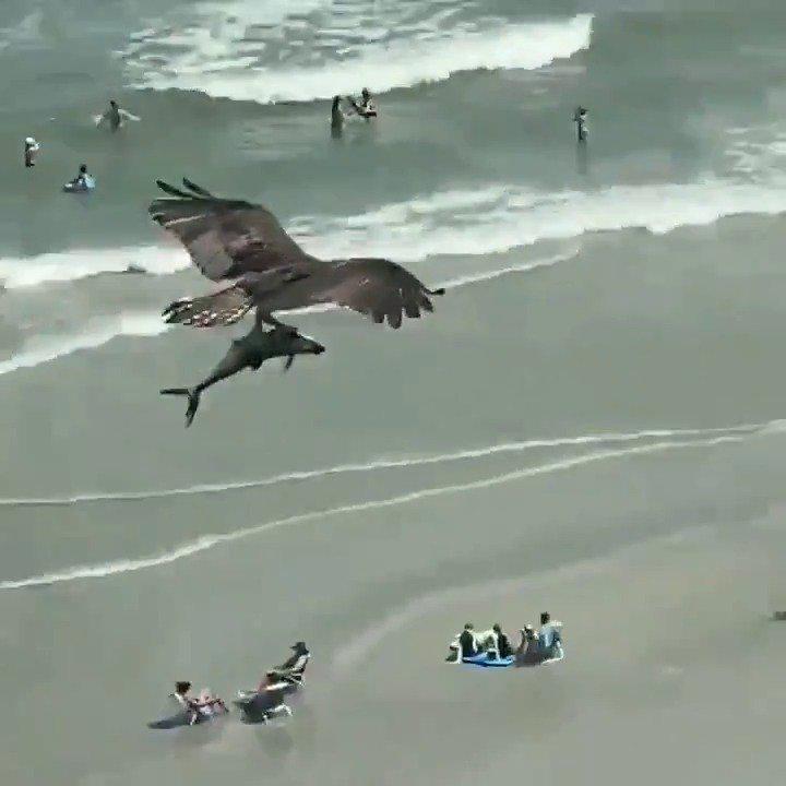 秃鹰?鱼鹰? 美国南卡罗莱纳州的默特尔海滩……