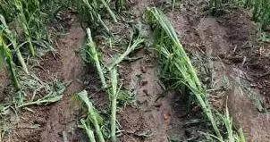 吉林舒兰遭受风雹灾害,27个村庄受灾损失3492万元