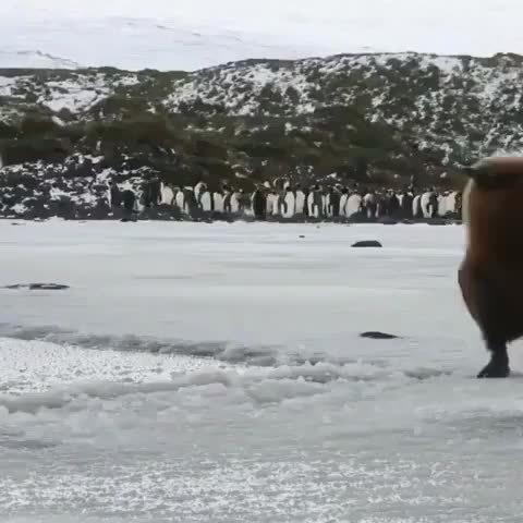 胎毛未退的王企鹅,一颗行走的猕猴桃,一脚踩空了