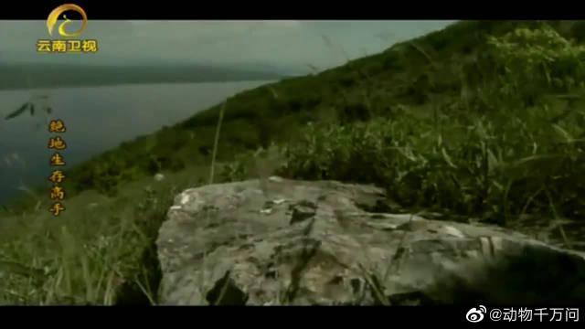 作为清道夫,秃鹫只吃动物的尸体,它们不会猎杀