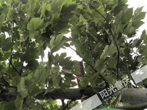 渝北区两港大道行道树挂满白色不明物体,目前已安排管护清理!