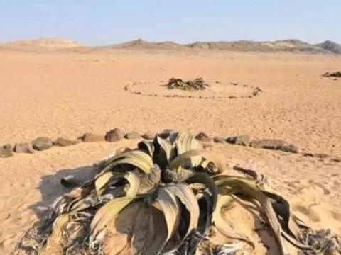 """非洲沙漠出现""""大章鱼""""生存长达1000年之久,至今没有灭绝!"""