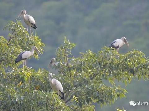 红河县生态持续改善,大量钳嘴鹳在河谷里诗意地栖居