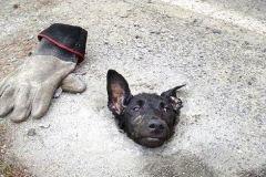丧心病狂!狗狗被人用水泥浇筑只露一个头,阵阵哀嚎撕心裂肺!