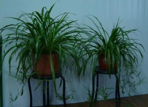 它是最厉害的养花营养液,给花喝一勺,叶子油绿呼呼长!