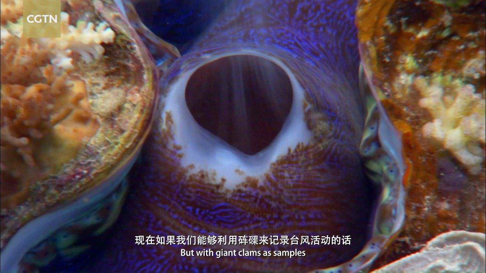 保护环境就是保护人类自己!砗磲,是海洋中最大的双壳贝类……