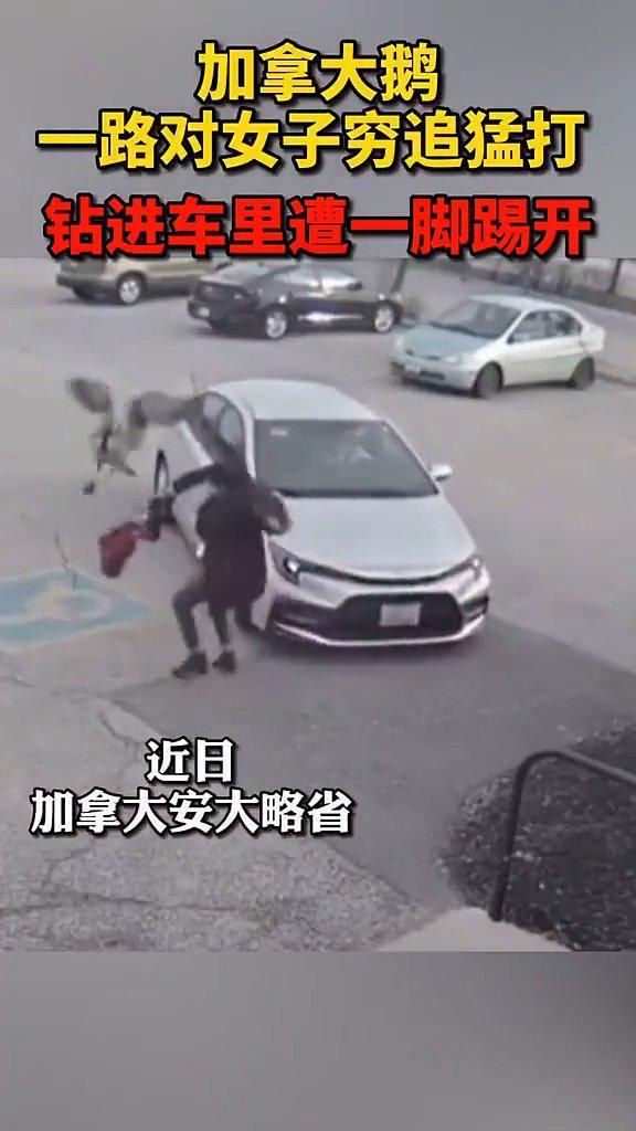 可怕!加拿大鹅一路对女子穷追猛打,还嚣张钻进车里……