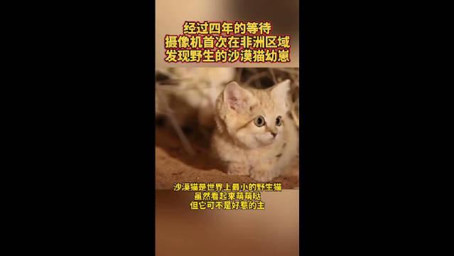 经过四年的等待,摄像机首次在非洲区域,发现野生的沙漠猫幼崽!