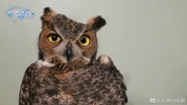 不存在视野盲区的生物,猫头鹰的脖子大有乾坤!