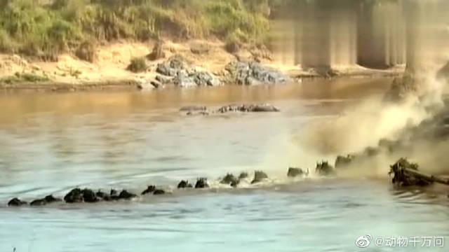 摄影师拍摄壮观一幕!上万只角马为了生存进行迁徙,这就是大自然