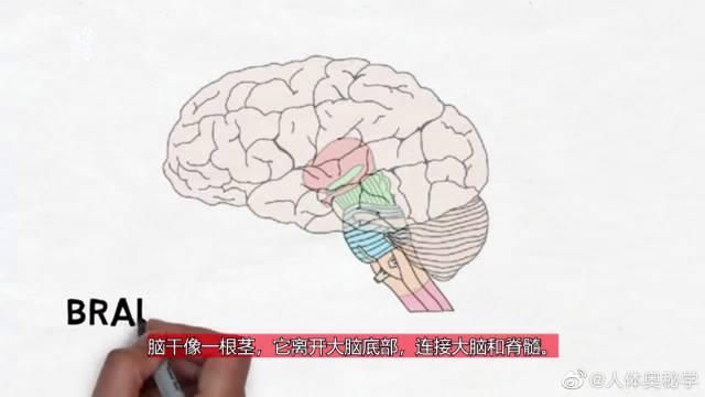 科普脑干的结构 脑干的功能主要是维持个体生命