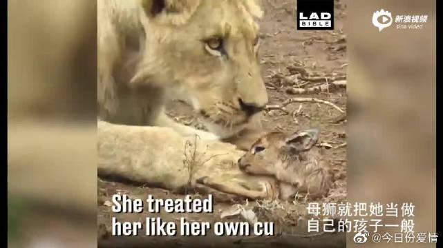 """天敌竟成""""母女""""!母狮救下迷路的羚羊宝宝"""