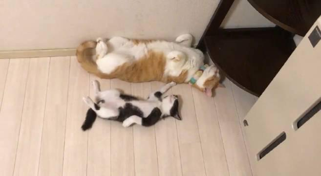 因奶牛猫太可爱而无法入睡的大橘