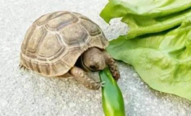 """全世界最辣的死神辣椒,被乌龟误吞后,下一秒达到""""龟生巅峰"""""""