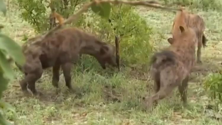 鬣狗首领咬残驱逐犯错的同伙,弱肉强食到哪里都适用啊!