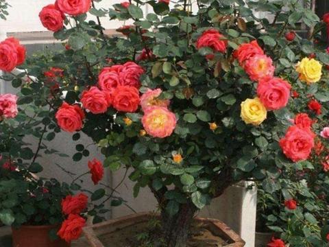 盆栽树型月季花,冬天能不能室外过冬,该怎样做好防寒保温?