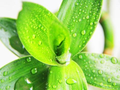 冬天想要养好富贵竹?就使用这几种过期药,植物越长越茂盛